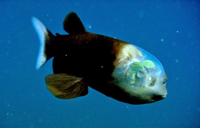 weird-animal-pacific-barreleye-fish-1